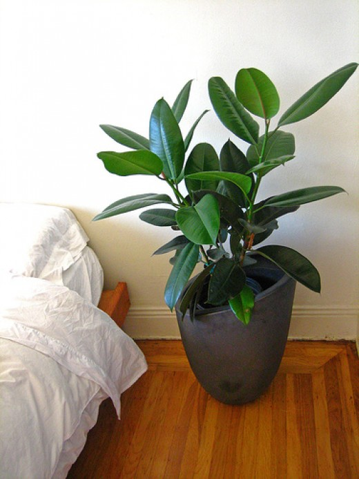 Best House Plants for Black Thumbs - Rubber Plant