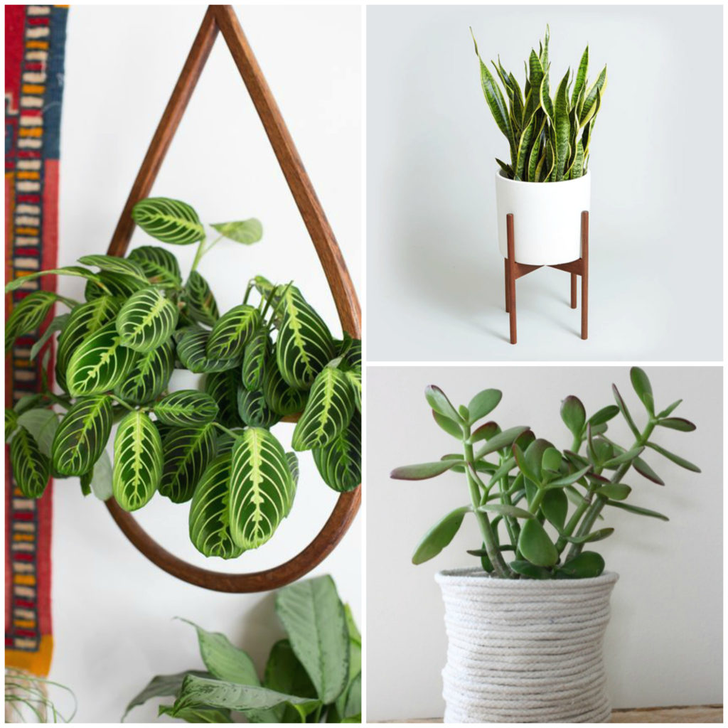 Best House Plants for Black Thumbs