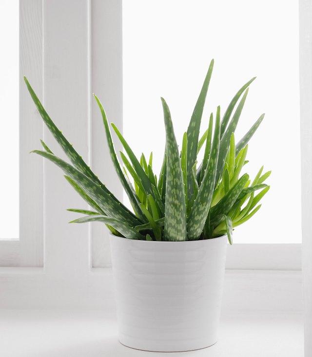 Best House Plants for Black Thumbs - Aloe Vera