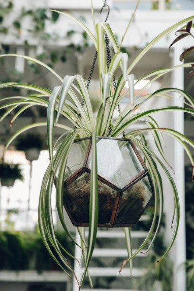 Best House Plants for Black Thumbs - Spider Plant
